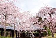 煎茶道方円流 『梅小路公園 桜まつり煎茶会』のお知らせ