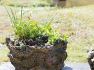 春の和の花展開催中です