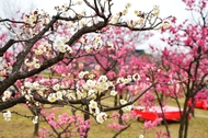 梅まつりを開催します。(2月28日~3月8日)