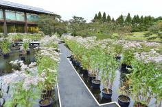 藤袴と和の花展(9/26~10/12)のイメージ