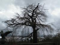 円山公園の桜0319.JPGのサムネイル画像