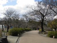 円山公園桜0311