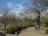 円山公園の桜0312