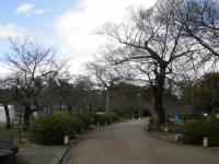 円山公園の桜0315