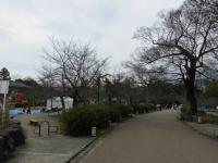 円山公園の桜0318