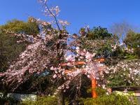 早咲きしだれ桜