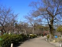 円山公園の桜0322