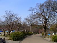 円山公園の桜0323
