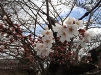 桜アップ0325