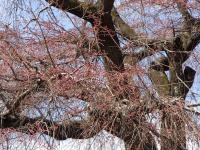 祗園しだれ桜アップ0326