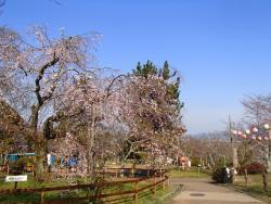 園内の桜0329