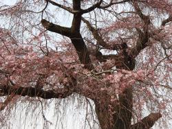 祗園しだれ桜アップ0330