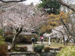 園内の桜②0330
