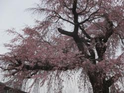 祗園しだれ桜アップ0401