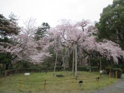 園内の桜②0401