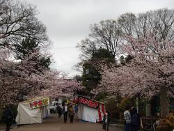 園内の桜②0404