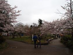 園内の桜④0404