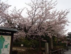 園内の桜⑤0404