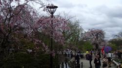 園内の桜0408
