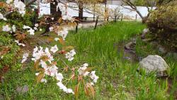 園内の桜⑦0408