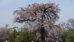 祗園しだれ桜②0409