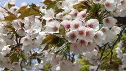 桜アップ0409