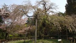 園内の桜②0409