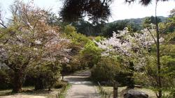 園内の桜③0409