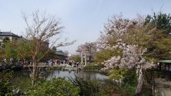 園内の桜①0409