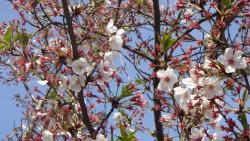 桜アップ0412