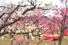梅まつりin梅小路公園のイメージ