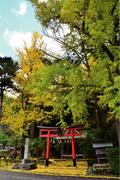 源氏物語ゆかりの 岩戸落葉神社のイチョウ