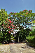 徳川家ゆかりの地に咲く 清凉院(せいりょういん)のサルスベリ