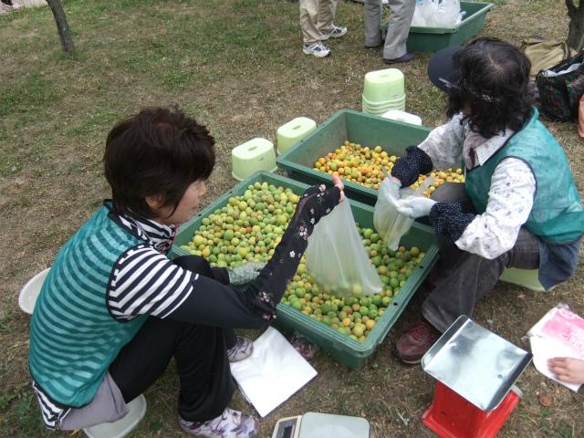 梅の実とり (4).jpg